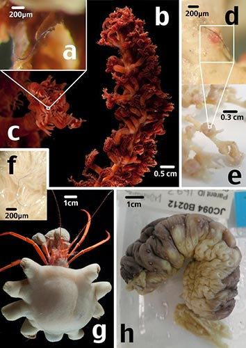 Microplastics in deep sea organisms.